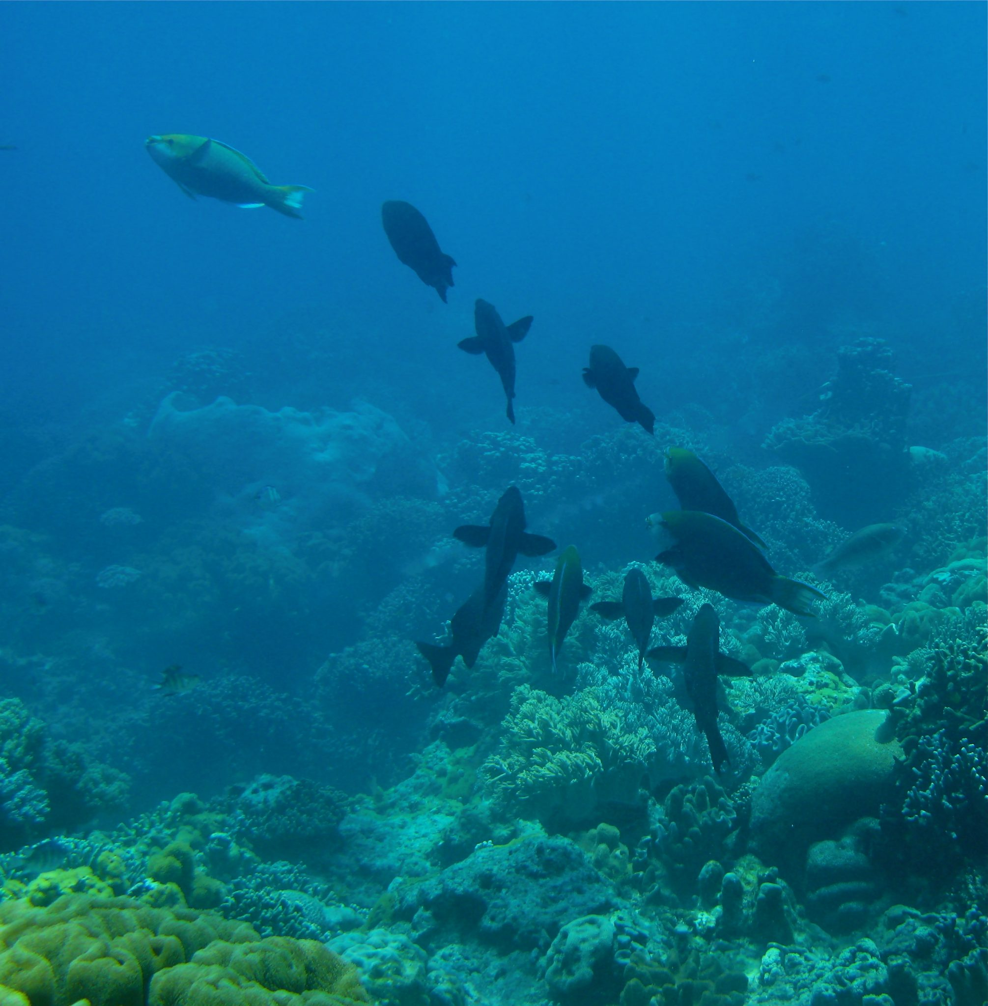 Excavating Parrotfish